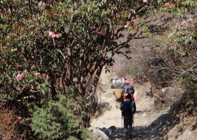 Rhododendrons-in-full-boom-Tengboche-Hill